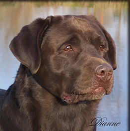 History of The Chocolate Labrador Retriever During the 1800s the chocolate color or liver as it was known was undesirable in comparison to blacks