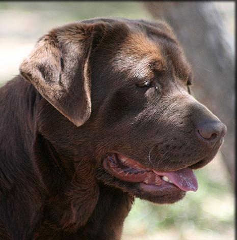 Gallery For gt English Chocolate Labrador Retriever