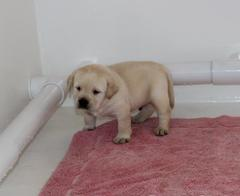 Yellow english lab puppies for sale ca